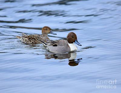 Esquimalt Photograph - Northern Pintail Ducks by Louise Heusinkveld