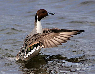Painting - Northern Pintail Feeling Good by Sue Harper