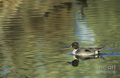 Photograph - Northern Pintail In A Quiet Pond California Wildlife by Dave Welling