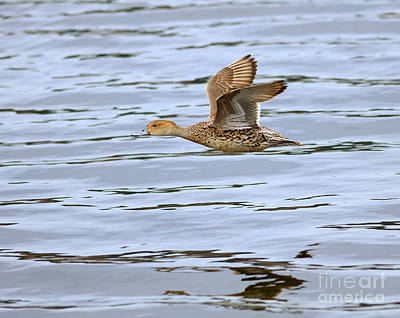 Esquimalt Photograph - Northern Pintail In Flight by Louise Heusinkveld