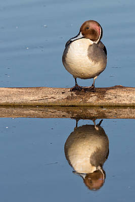 Photograph - Northern Pintail On A Log by Kathleen Bishop
