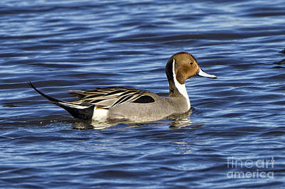 Photograph - Northern Pintail by Ronald Lutz