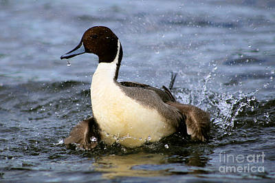 Painting - Northern Pintail Splash by Sue Harper