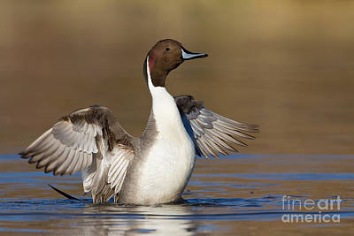 Animals Royalty-Free and Rights-Managed Images - Northern Pintail wing flap by Bryan Keil