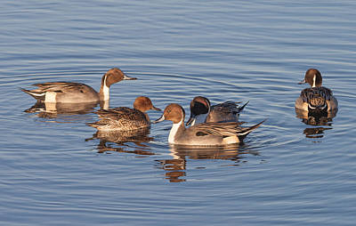 Photograph - Northern Pintails by Melinda Fawver