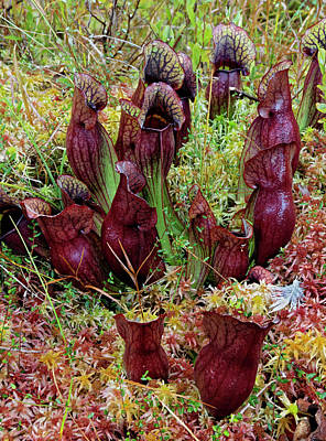 Pitcher Plant Photograph - Northern Pitcher Plant, Sarracenia by Adam Jones