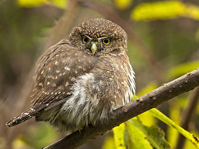 Photograph - Northern Pygmy Owl by Inge Riis McDonald