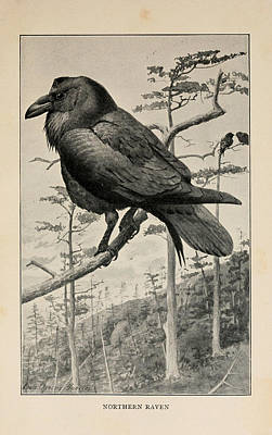 Birds Drawing - Northern Raven by Philip Ralley