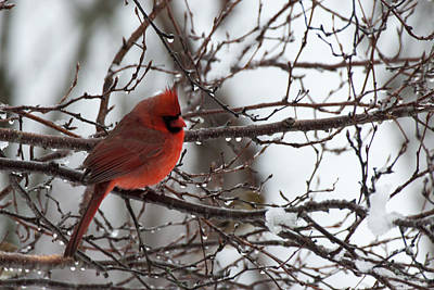 Animals Royalty-Free and Rights-Managed Images - Northern red cardinal in winter by Jeff Folger