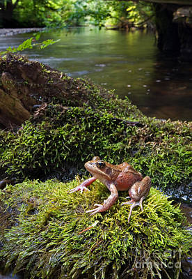 Photograph - Northern Red-legged Frog by Stuart Wilson