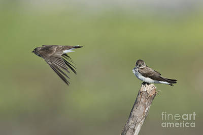 Swallow Photograph - Northern Rough-winged Swallows by Anthony Mercieca