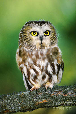 Photograph - Northern Saw-whet Owl Aegolius Acadicus Wildlife Rescue by Dave Welling