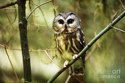 Northern Saw-whet Owl Photograph - Northern Saw-whet Owl by Art Wolfe