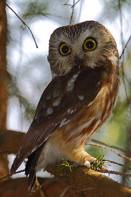 Northern Saw-whet Owl II Art Print