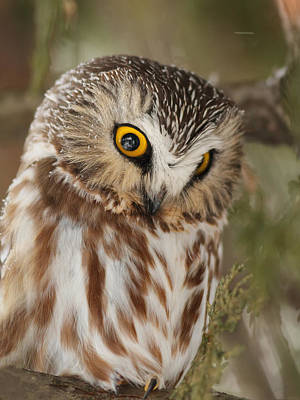 Northern Saw-whet Owl Photograph - Northern Saw-whet Owl In Winter by Mircea Costina Photography