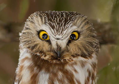 Whet Owl Photograph - Northern Saw-whet Owl  by Mircea Costina Photography