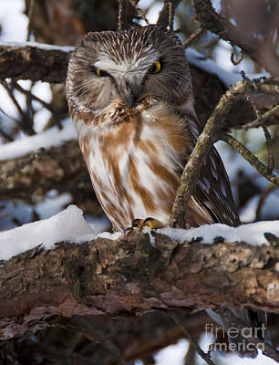 Northern Saw-whet Owl.. Art Print by Nina Stavlund