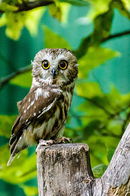 Northern Saw-whet Owl Photograph - Northern Saw-whet Owl by Randy Scherkenbach