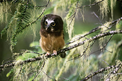 Northern Saw-whet Owl Photograph - Northern Saw-whet Owlet by Art Wolfe