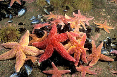 Radial Symmetry Photograph - Northern Sea Stars by Andrew J. Martinez