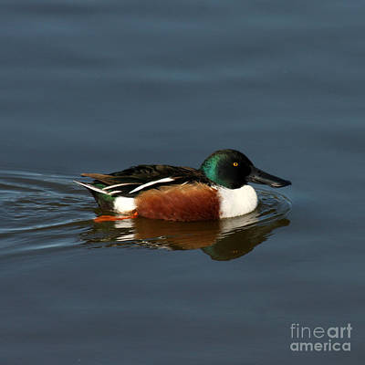 Print featuring the photograph Northern Shoveler by Bob and Jan Shriner