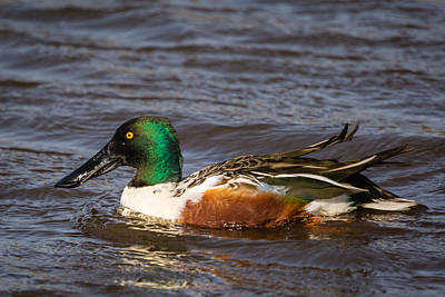 Photograph - Northern Shoveler by Gregory Daley  PPSA