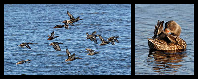 Photograph - Northern Shoveler Diptych by Dawn Currie