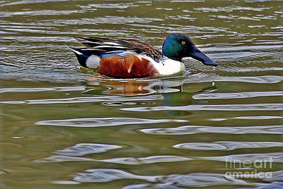 Photograph - Northern Shoveler by Elizabeth Winter