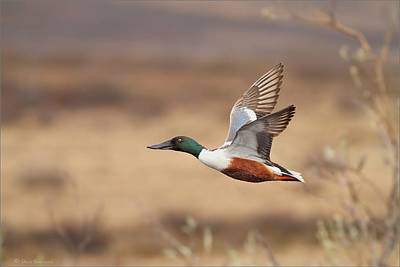 Photograph - Northern Shoveler In Flight by Daniel Behm
