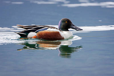 Photograph - Northern Shoveler by Jack Bell