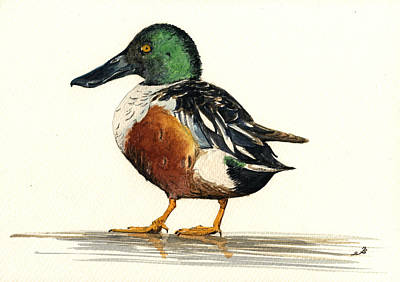 Duck Wall Art - Painting - Northern Shoveler by Juan  Bosco