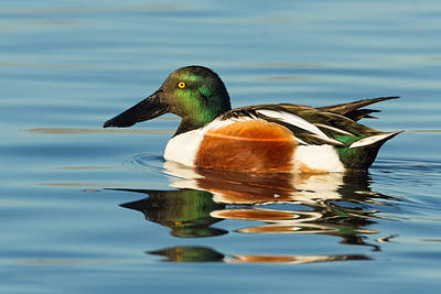 Photograph - Northern Shoveler Reflections by Kathleen Bishop