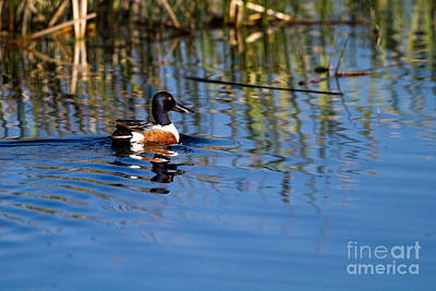 Photograph - Northern Shoveler Drake by Martha Marks