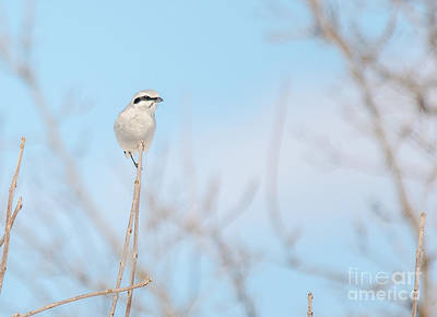 Photograph - Northern Shrike by Cheryl Baxter