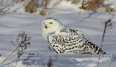 Northern Spirit- Snowy Owl Art Print by Inspired Nature Photography Fine Art Photography