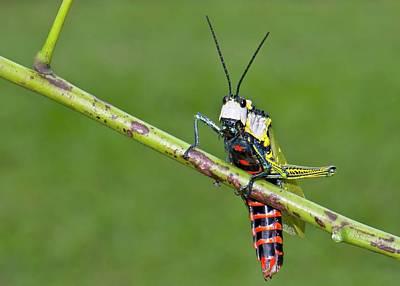 Northern Spotted Grasshopper Art Print by K Jayaram