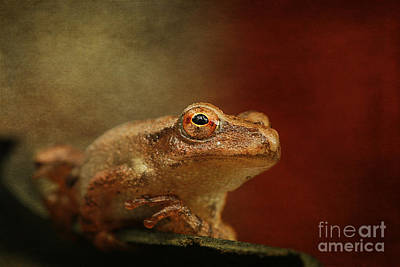 Spring Peepers Photograph - Northern Spring Peeper by Cindi Ressler