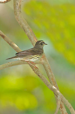 Photograph - Northern Waterthrush by Alan Lenk