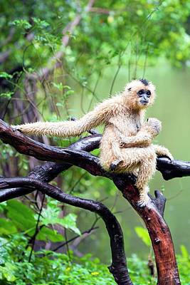 Gibbon Photograph - Northern White-cheeked Gibbons by Pan Xunbin