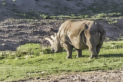 Digital Art - Northern White Rhinoceros  by Photographic Art by Russel Ray Photos