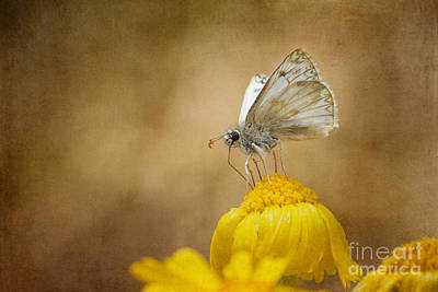 Photograph - Northern White Skipper by Marianne Jensen