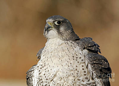 Northern Wind Arctic Wildlife Gyrfalcon Art Print by Inspired Nature Photography Fine Art Photography