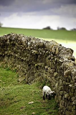 Northumberland, England  A Lamb Walking Art Print by John Short