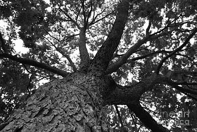 Photograph - Northwestern University Oak Grove by University Icons