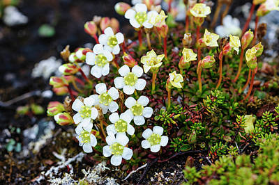 Norway Photograph - Norway Lapland Diapensia (diapensia by Fredrik Norrsell