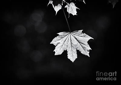 Norway Photograph - Norway Maple Leaf Monochrome by Tim Gainey