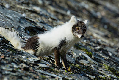 Arctic Fox Photograph - Norway Svalbard Barentsoya by Inger Hogstrom