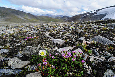 Norway, Troms Purple Mountain Saxifrage Art Print by Fredrik Norrsell