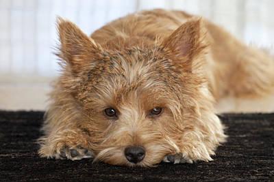 Digital Art - Norwich Terrier Face by Susan Stone