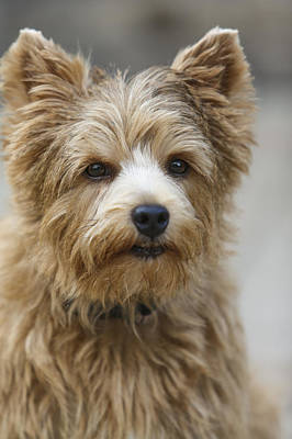 Photograph - Norwich Terrier Headshot by Susan Stone